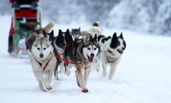 Juneau Icefield Helicopter Flight and Dog Sled Excursion in Alaska