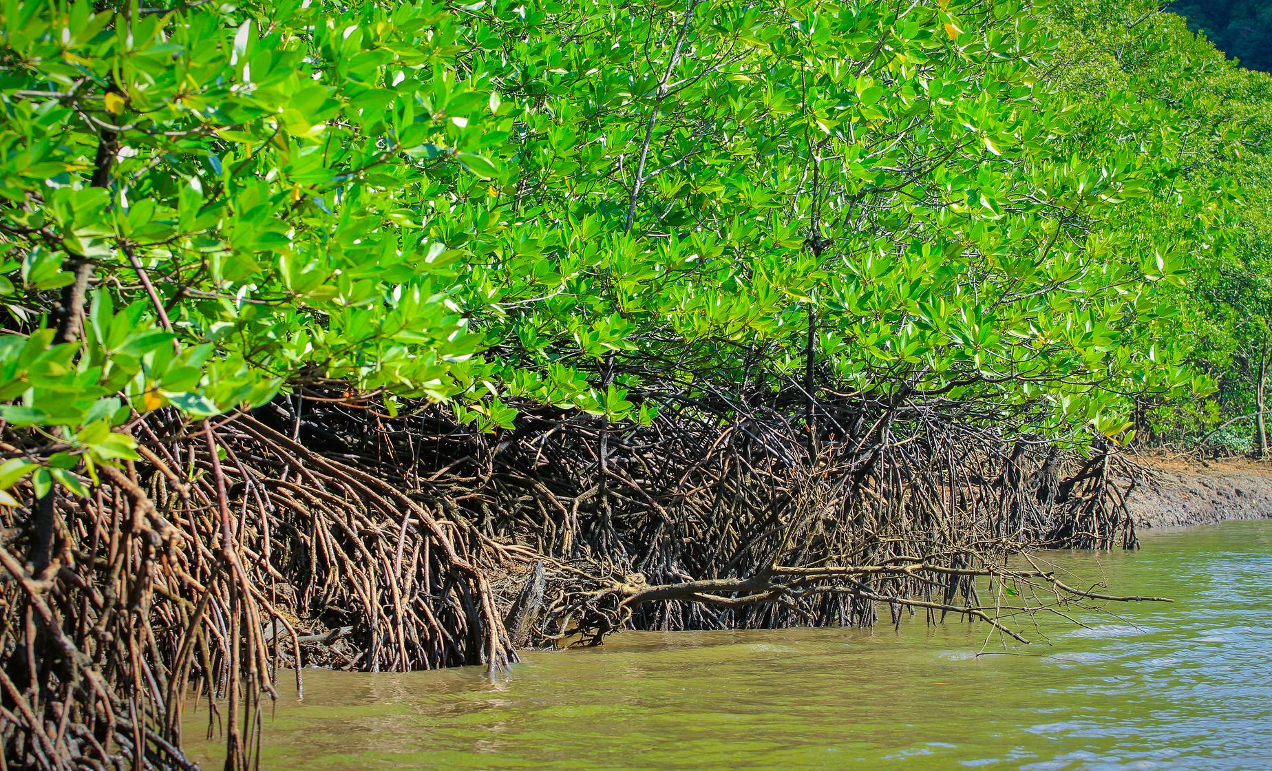 Mangrove Cruise & Swimming Tour