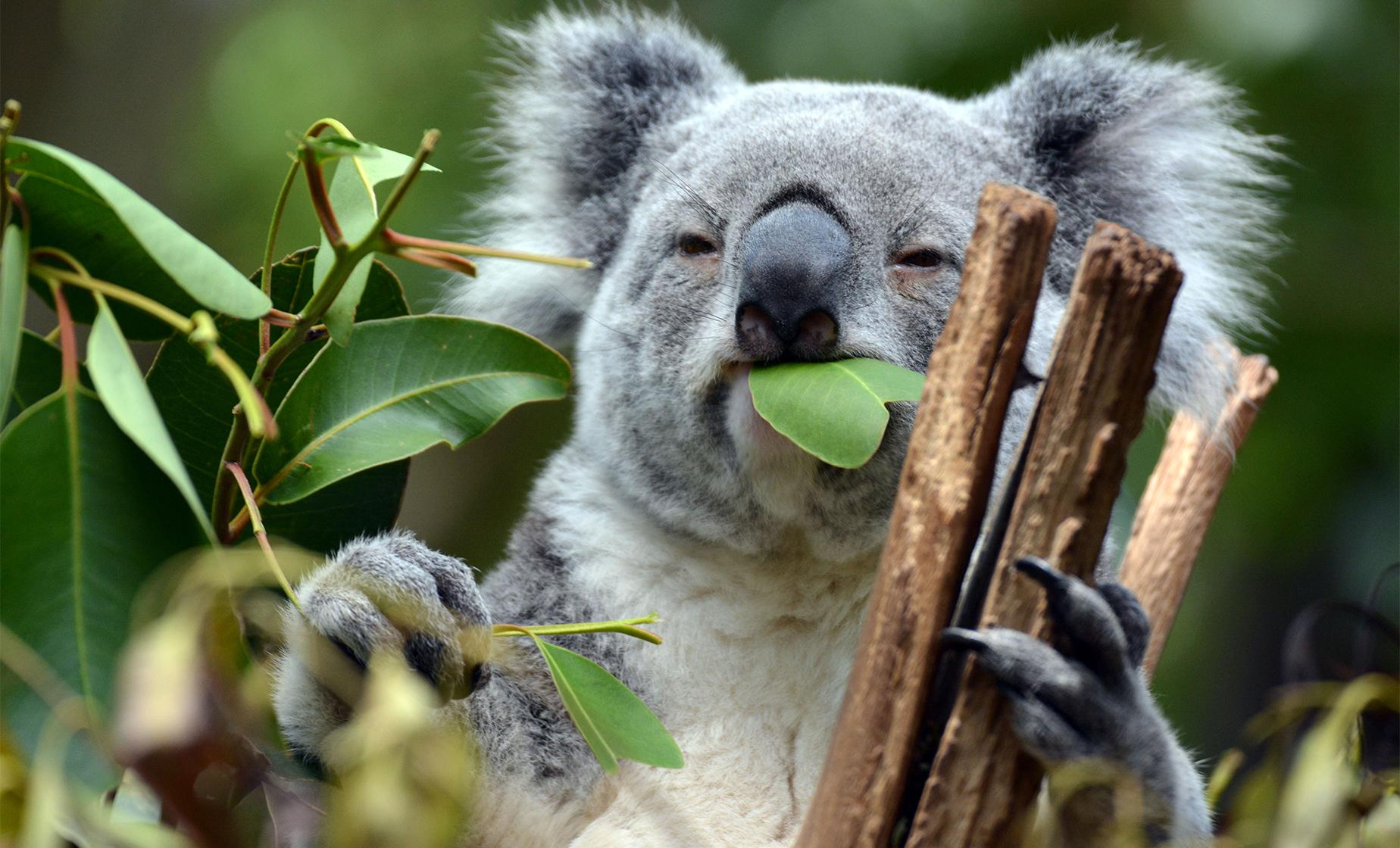 Brisbane Highlights and Koala Sanctuary