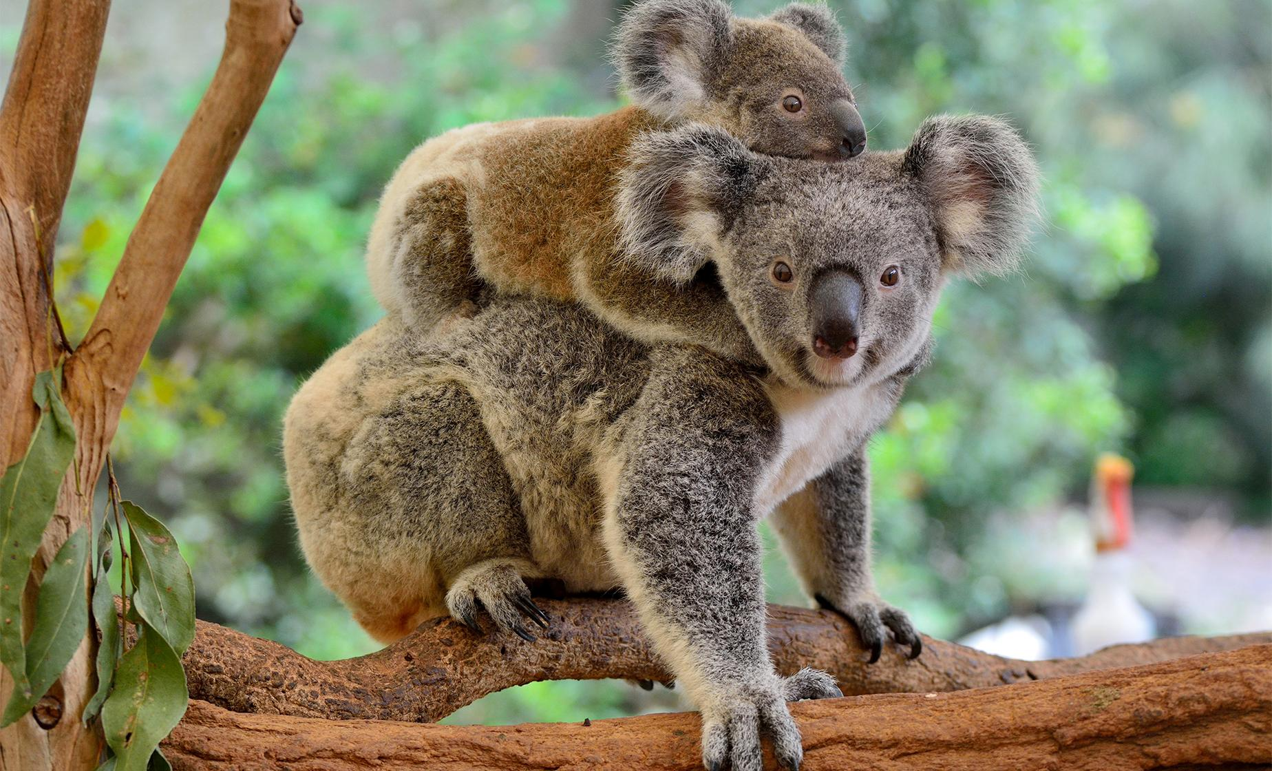 Koala Sanctuary & Brisbane River Cruise