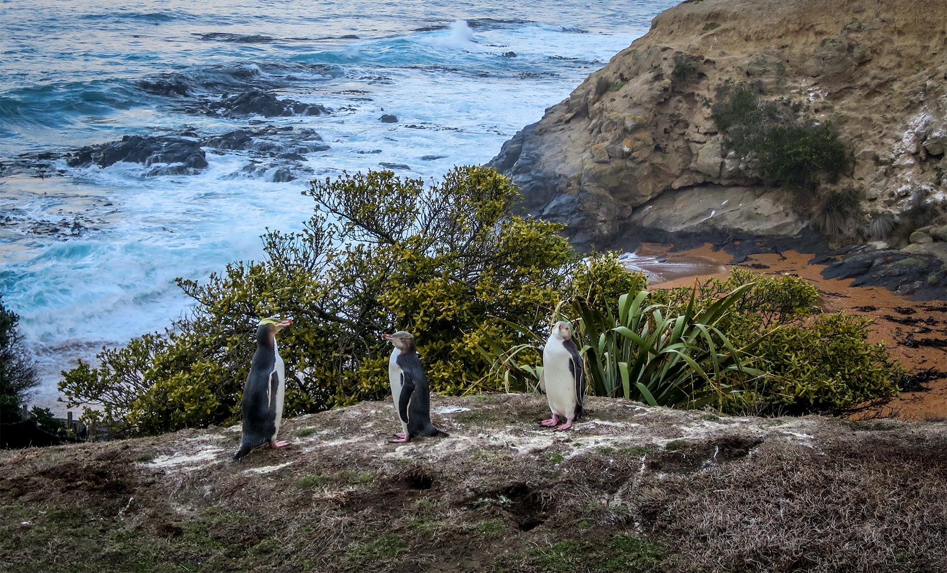 Highlights of Dunedin and Yellow Eyed Penguins