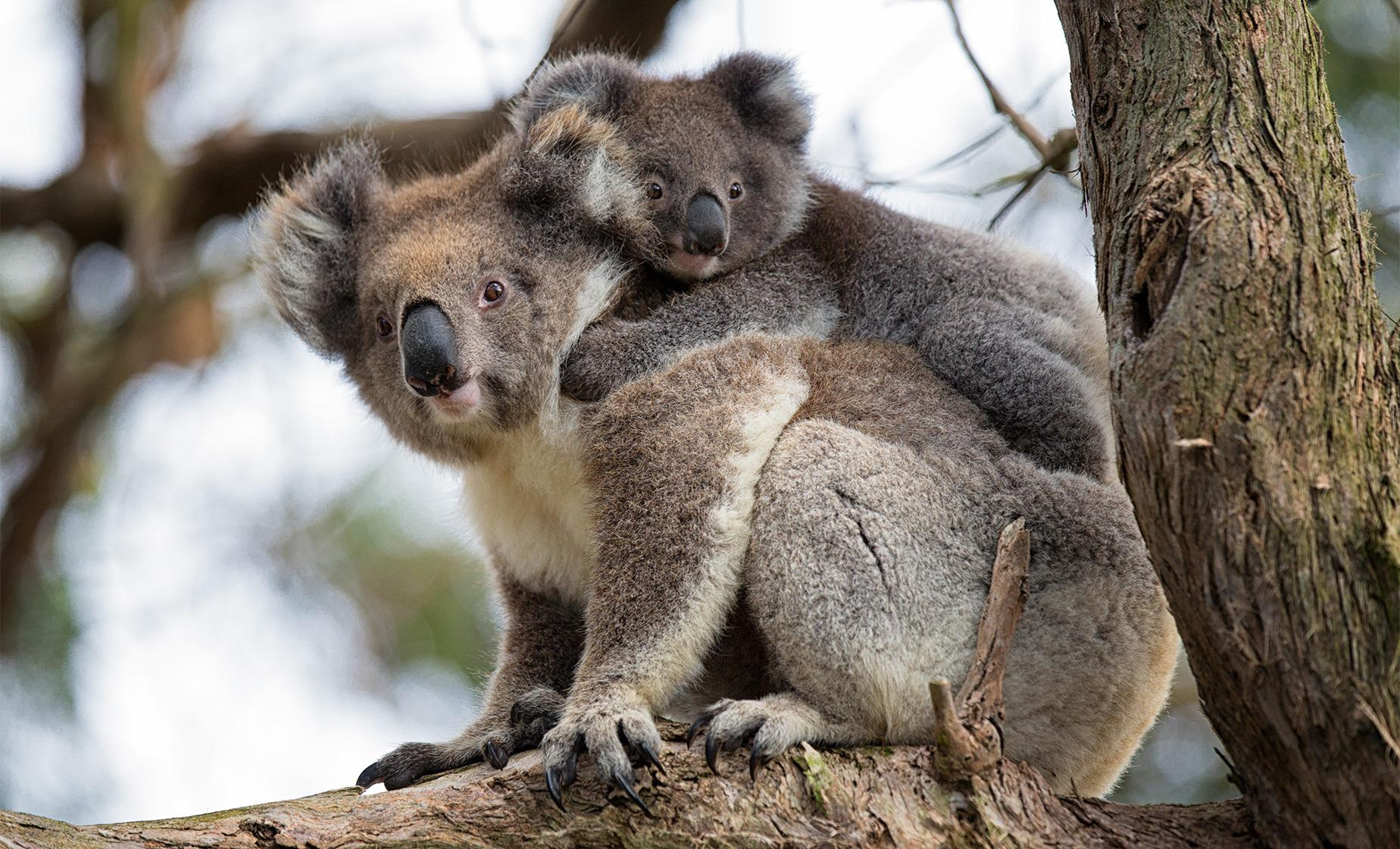 Koalas and Penguins Day Tour from Melbourne