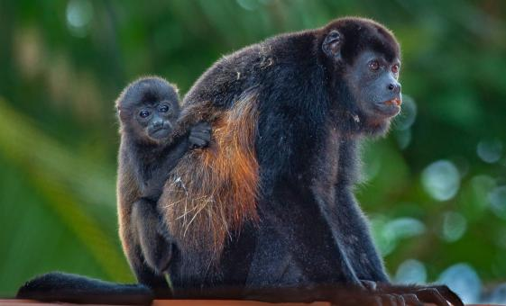 Baboon Sanctuary and Taste of Belize Tour