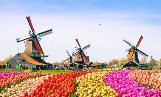 Dutch Countryside and Tulips