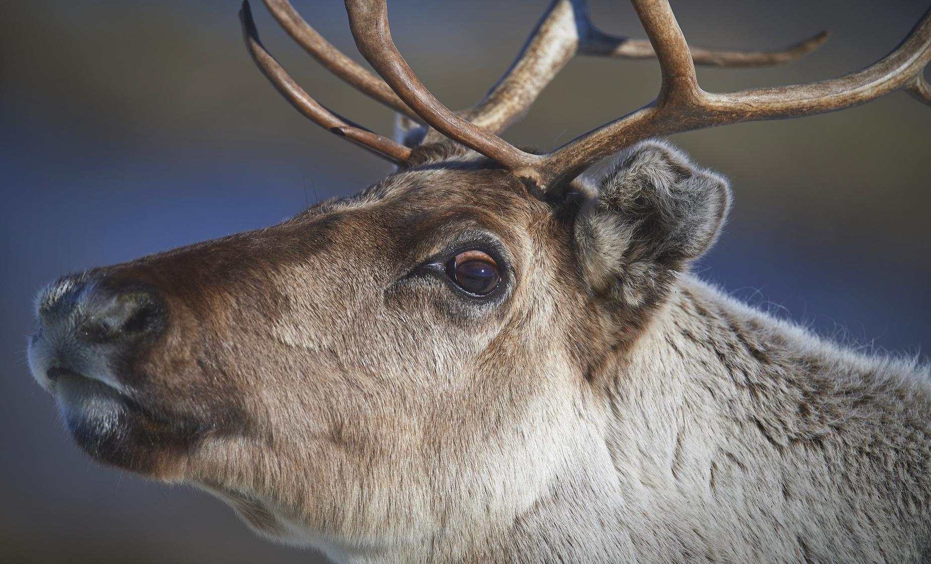 Helsinki and Nuuksio Reindeer Park