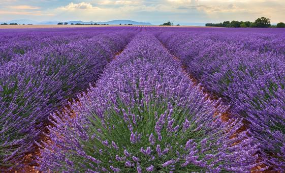 Lavender Experience