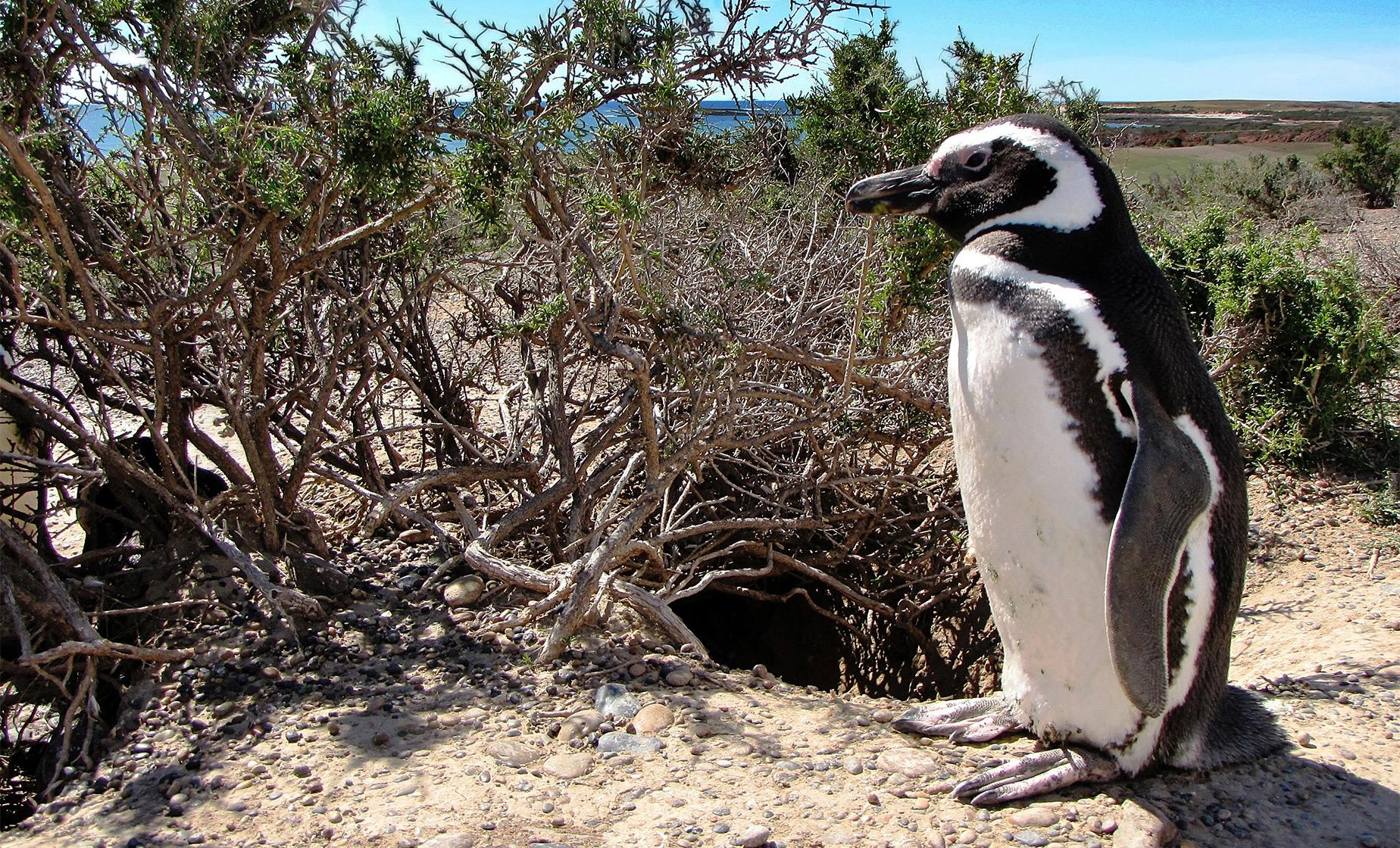 Exclusive Punta Tombo Penguins