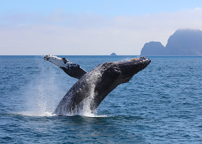 Alaska whale watching tours on cruise ships.